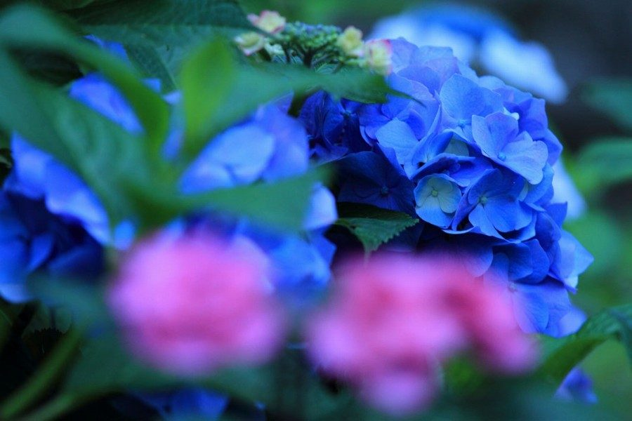 三春 紫陽花